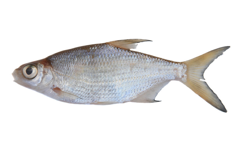 Pesci d 39 acqua dolce immagine stock immagine di abramide for Pesci acqua fredda piccoli