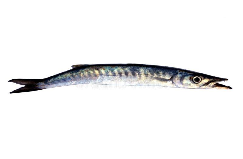 Pesci degli Snoek fotografia stock