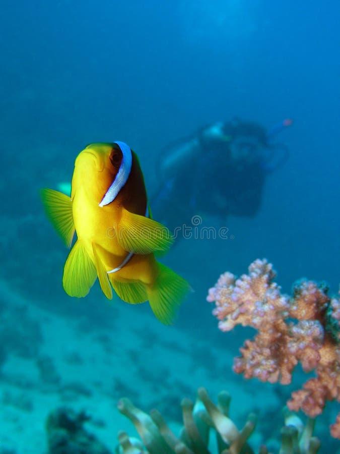 Pesci del Damsel fotografia stock