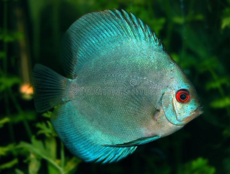 Pesci del Discus fotografie stock