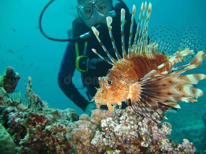 Pesci del leone con l'operatore subacqueo immagine stock