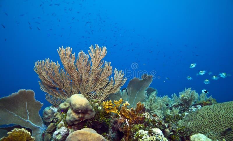 Pesci del maggiore del seageat della barriera corallina immagine stock