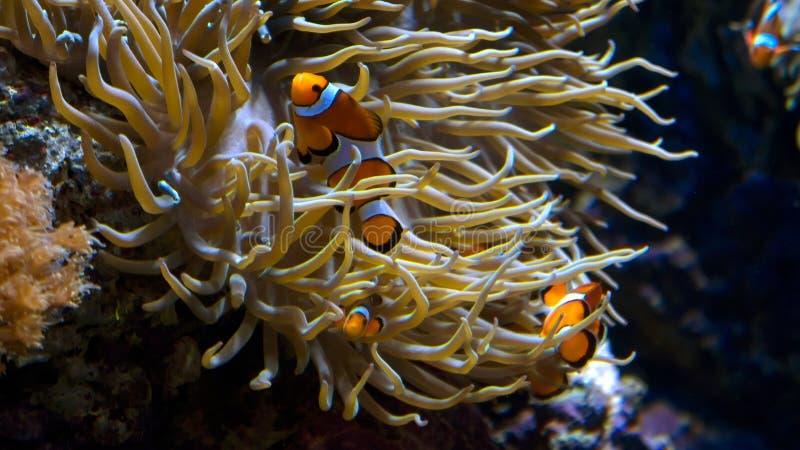 Pesci del pagliaccio in anemone immagini stock