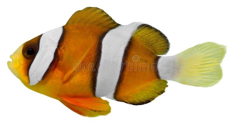 Pesci del pagliaccio del Clark (clarkii di Amphirion) fotografia stock