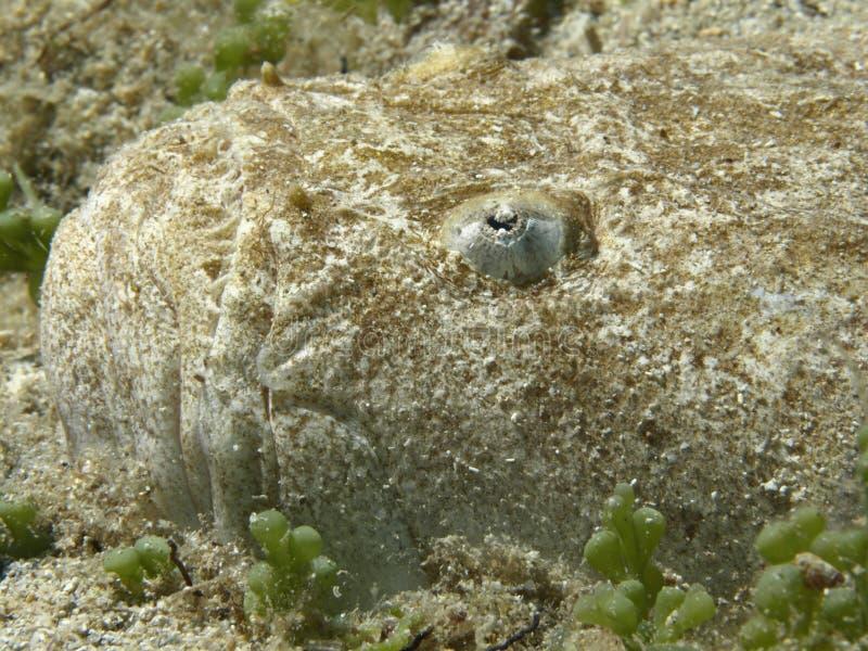 Pesci del ratto fotografia stock