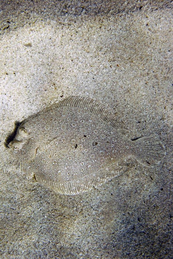 Pesci del rombo gigante fotografie stock