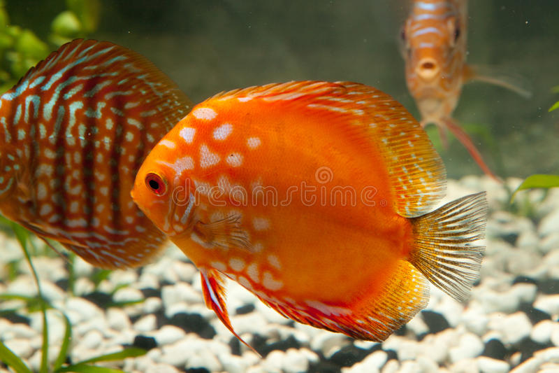 Pesci dell'acquario del Discus immagini stock