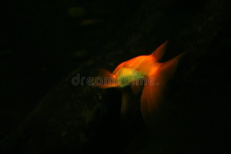 Pesci dell'oro fotografie stock