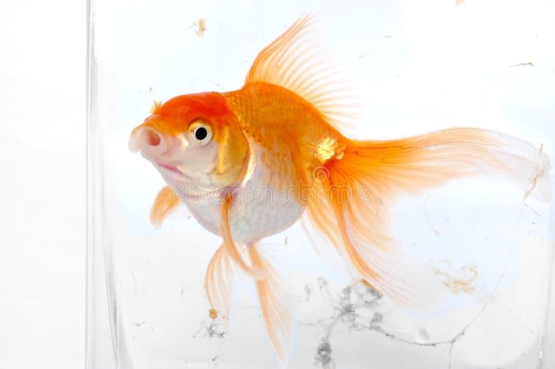 Download Pesci dell'oro fotografia stock. Immagine di cura, fishy - 350094