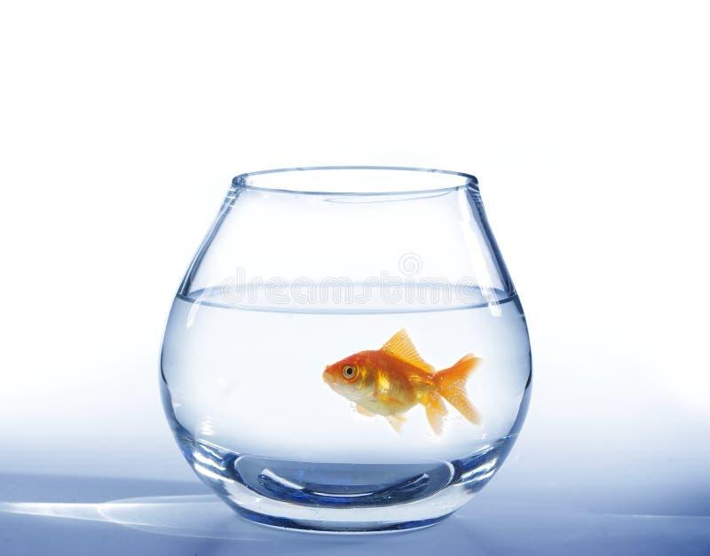 Pesci dell'oro in acquario immagine stock
