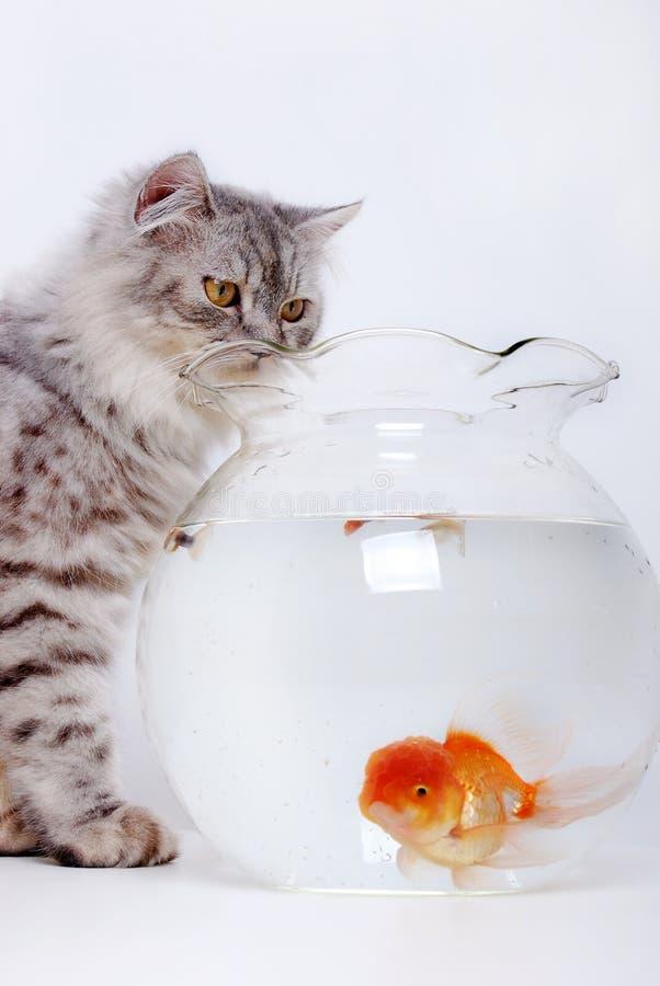 Pesci dell'oro e del gatto fotografie stock libere da diritti
