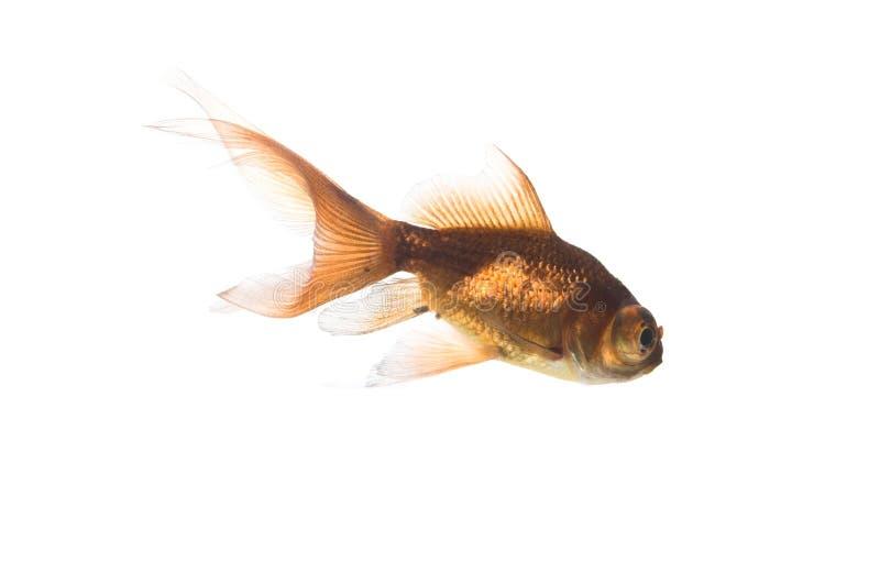 Pesci dell'oro sopra bianco immagine stock
