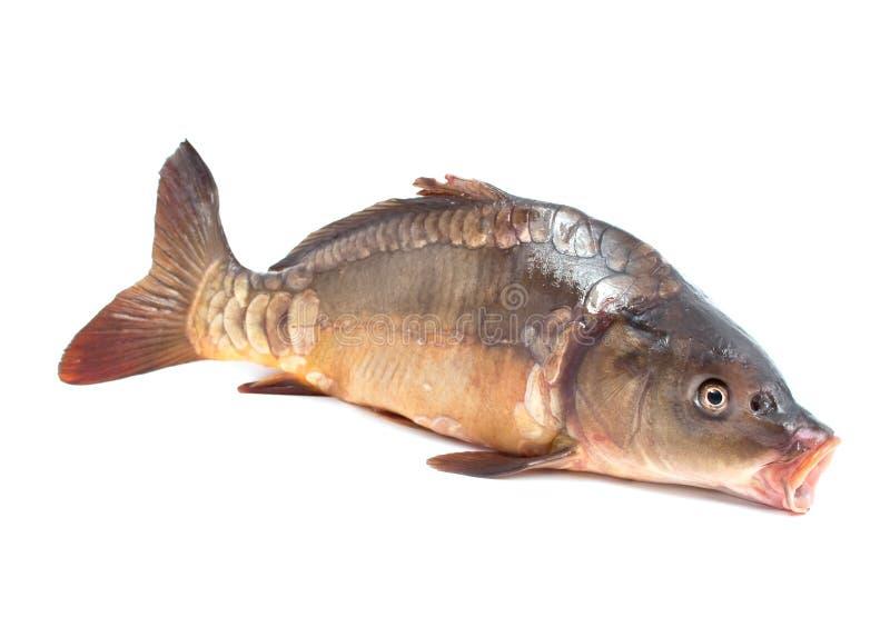 Pesci della carpa fotografie stock libere da diritti