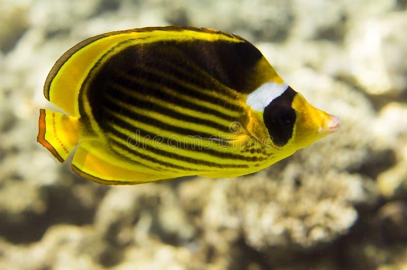 Pesci della farfalla fotografia stock