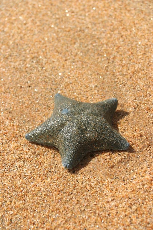 Pesci della stella I immagine stock libera da diritti