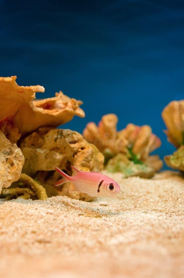 Pesci dentellare in acquario fotografie stock