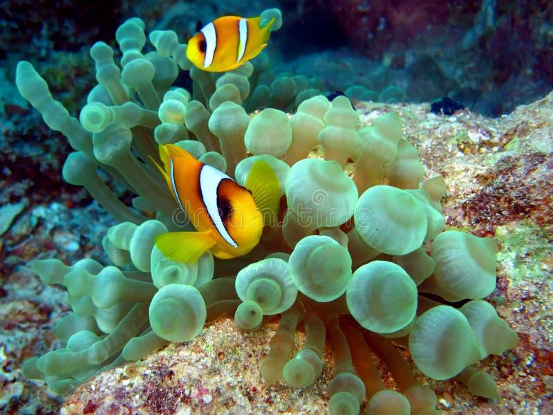 Pesci di Anemone fotografia stock libera da diritti