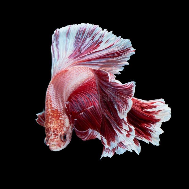 Pesci di Betta fotografie stock