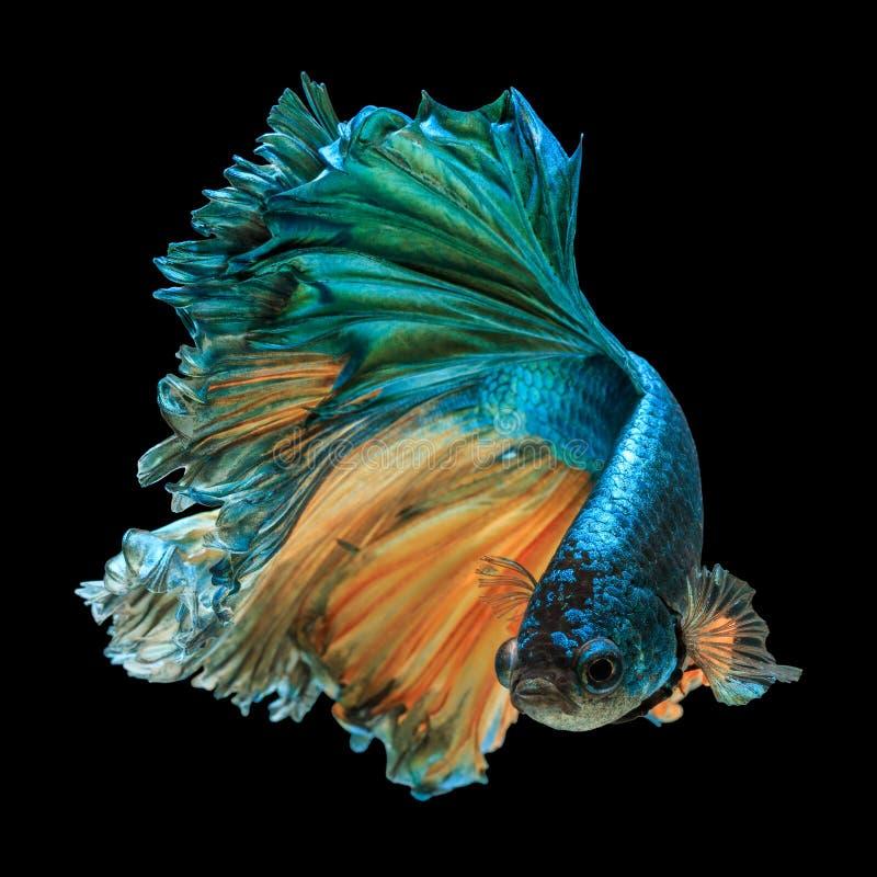 Pesci di Betta fotografia stock libera da diritti