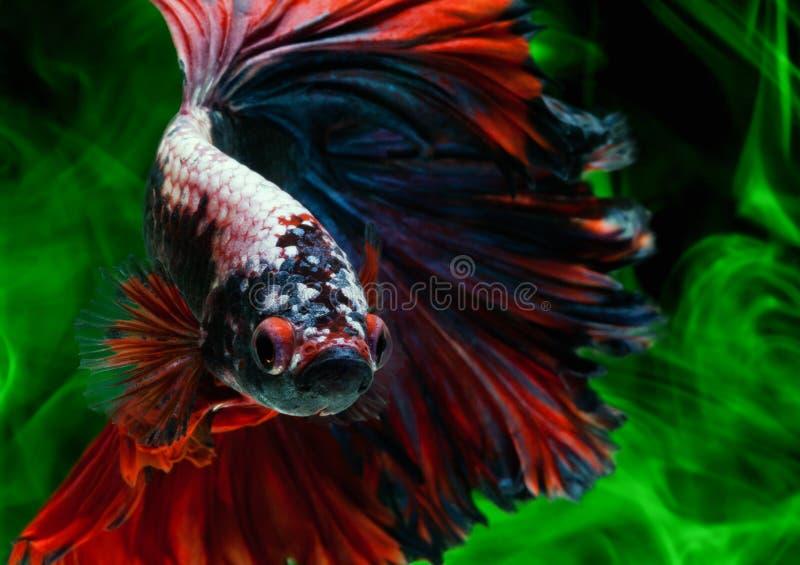 Pesci di Betta immagini stock