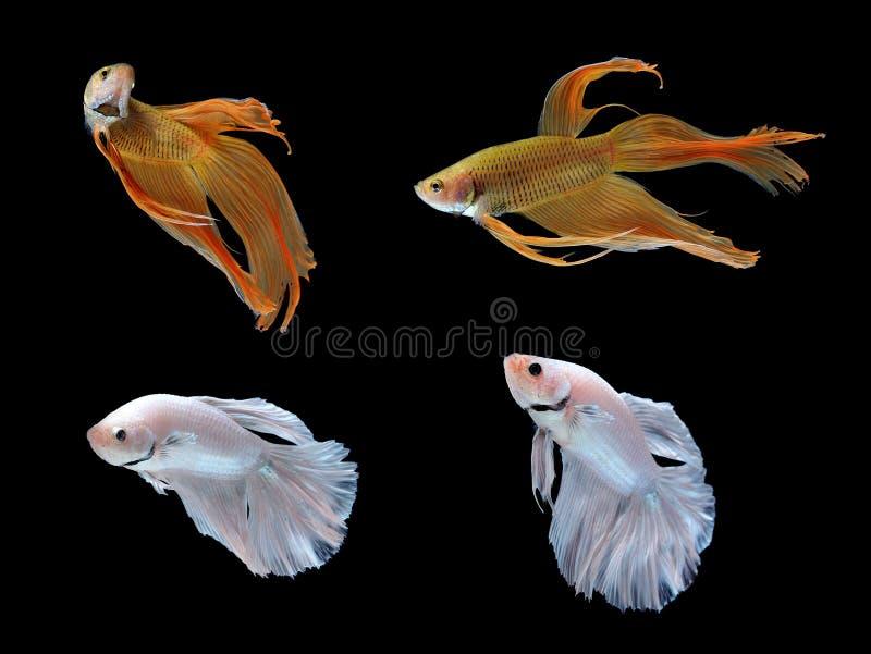 Pesci di Betta isolati su priorità bassa bianca fotografia stock libera da diritti