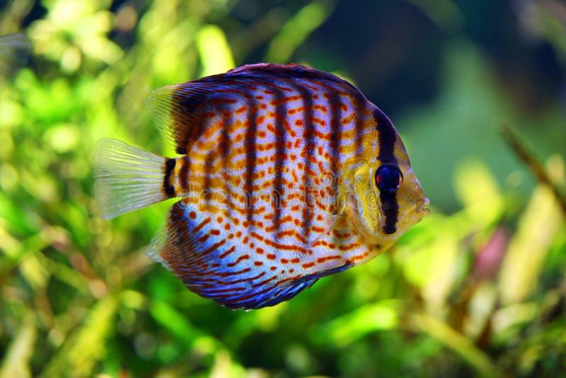 Pesci di disco nell'acquario immagine stock