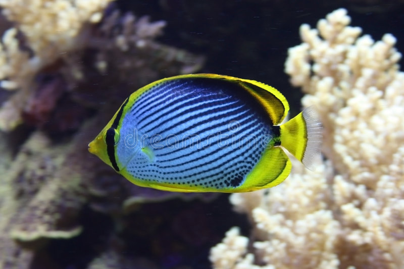 Pesci di farfalla di appoggio il nero immagini stock