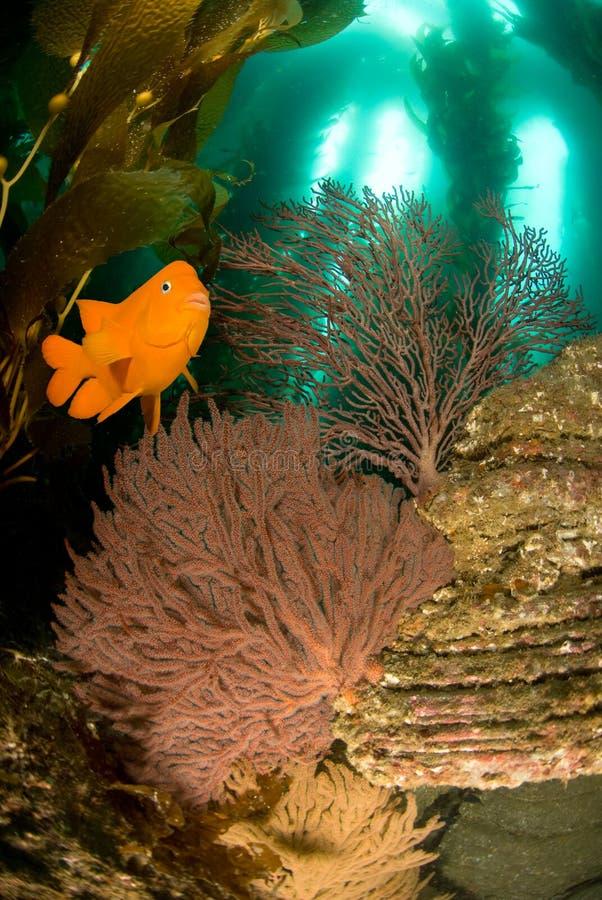 Pesci di Garibaldi e scogliera subacquea fotografie stock