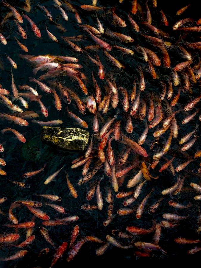 Pesci di Koi fotografie stock libere da diritti