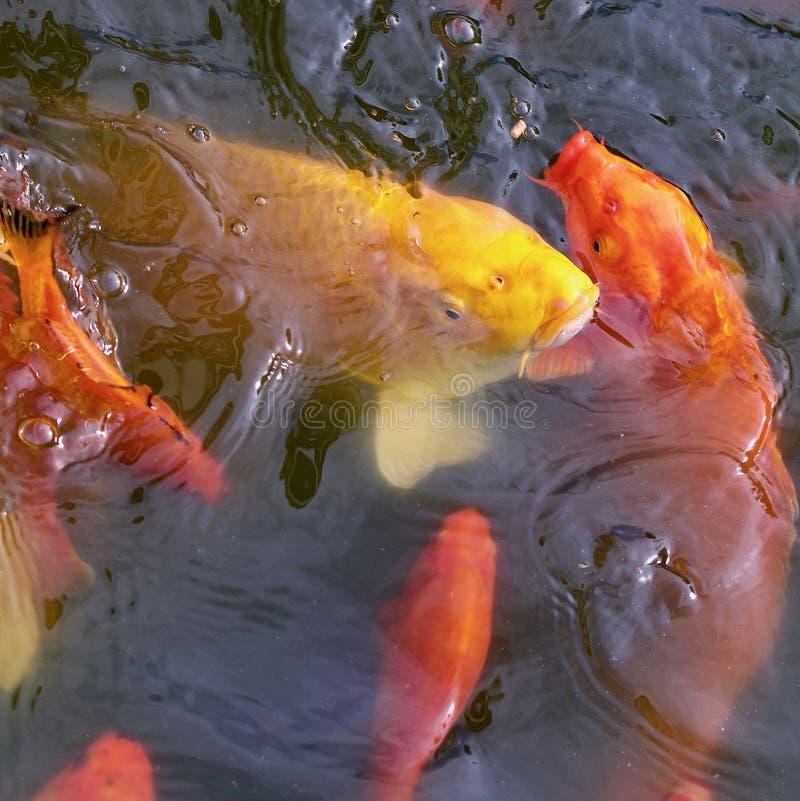 Pesci di Koi immagine stock libera da diritti