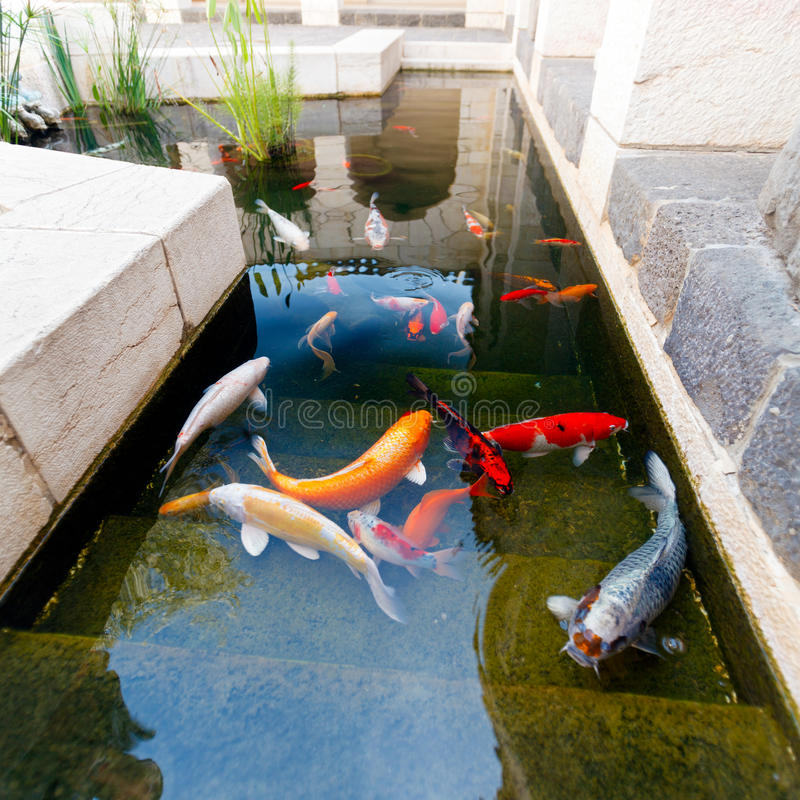 Pesci di koi pond fotografia stock immagine di stagno for Pesci di stagno