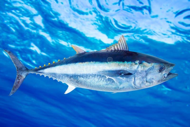 Pesci di mare di thynnus del Thunnus dello sgombro di tonno rosso immagini stock libere da diritti