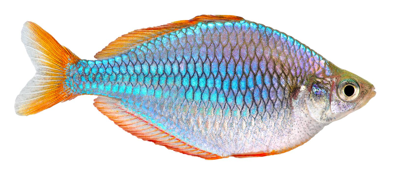 Pesci di Rainbow al neon nani fotografie stock libere da diritti