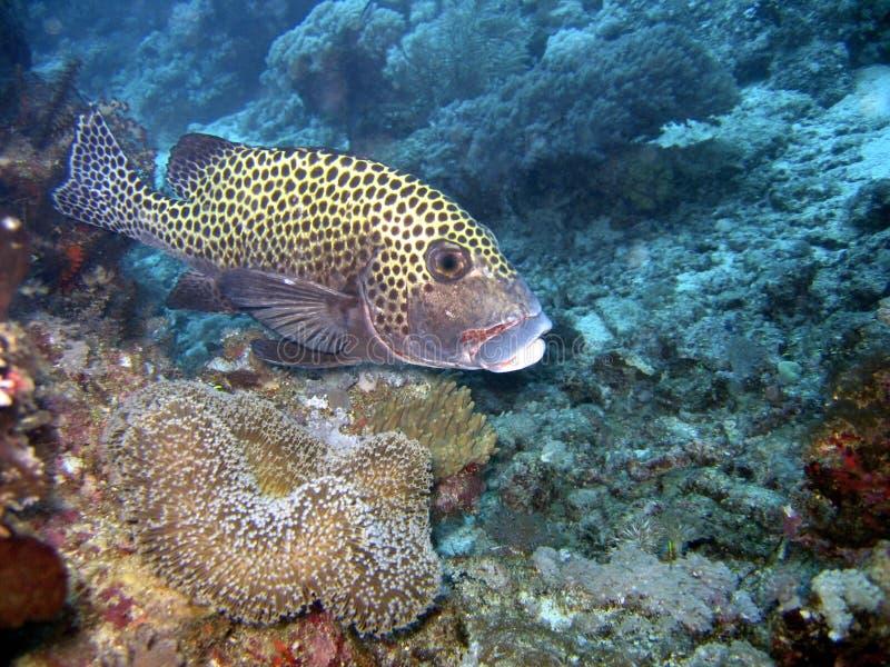 Download Pesci di Sweetlip immagine stock. Immagine di oceano, acquatico - 213831