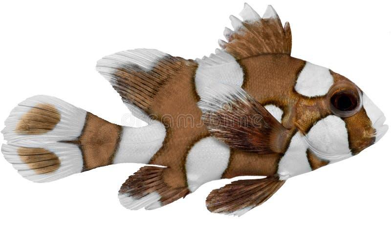 Pesci di Sweetlips del Harlequin immagini stock libere da diritti