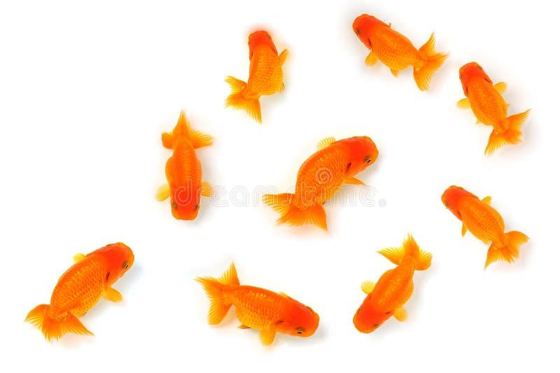 Pesci dorati fotografie stock