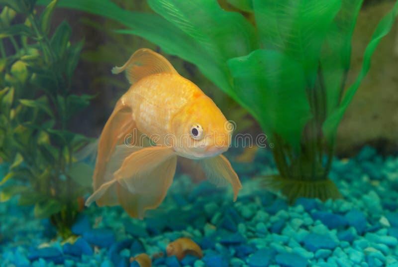 Pesci dorati tropicali fotografia stock libera da diritti