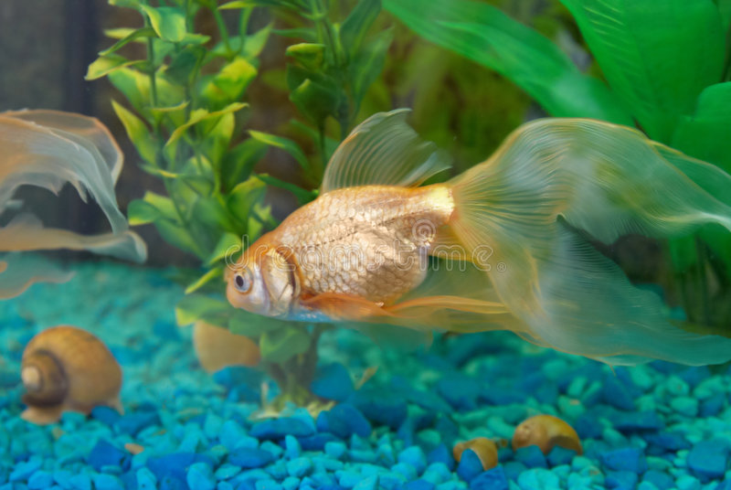 Pesci dorati tropicali fotografia stock