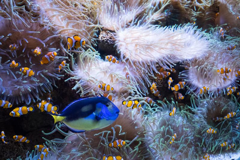 Pesci e anemone del pagliaccio dentro il carro armato di pesce dell'acquario - fotografia stock