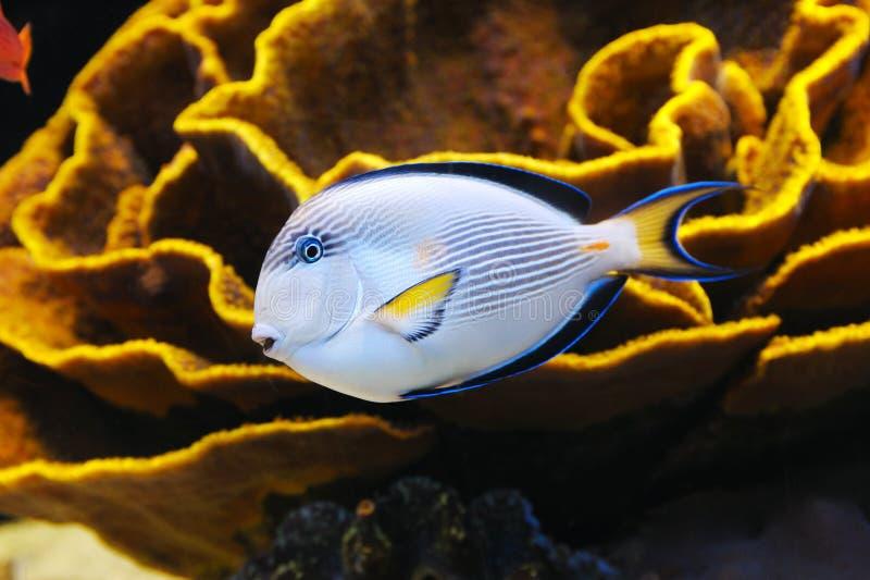 Pesci e corallo del Mar Rosso fotografia stock libera da diritti