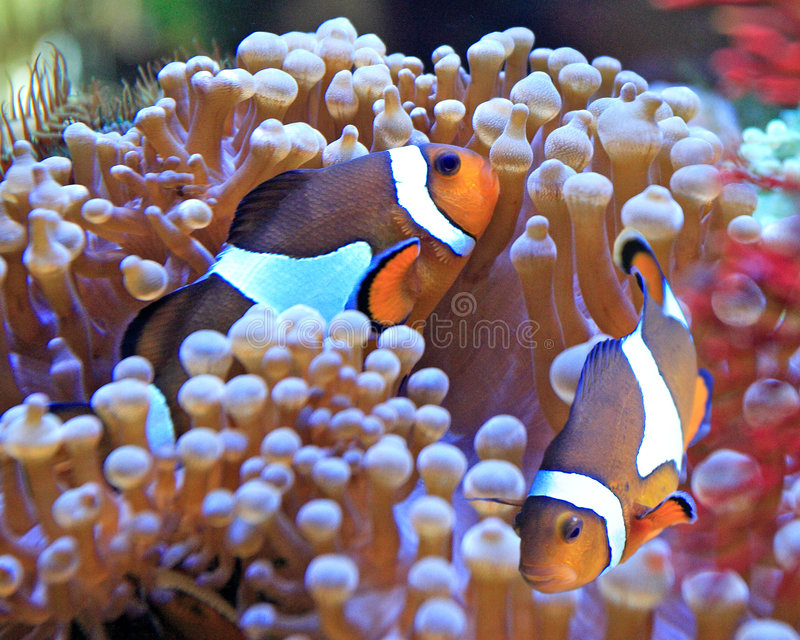 Pesci ed anemone del pagliaccio fotografie stock libere da diritti