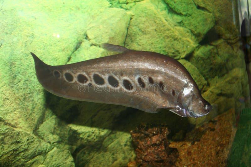 Pesci esotici, chitala di Notopterus immagine stock libera da diritti