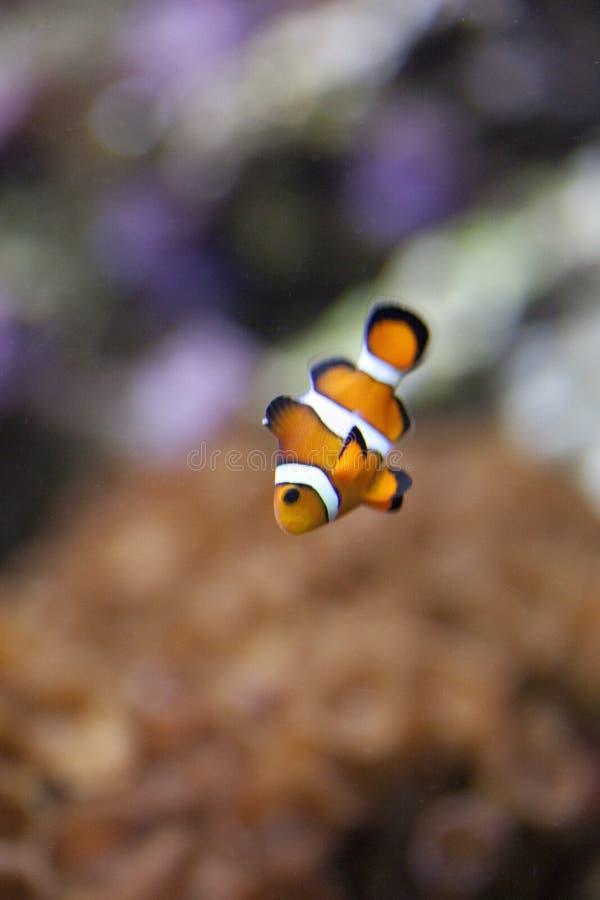 Pesci esotici in serbatoio fotografia stock
