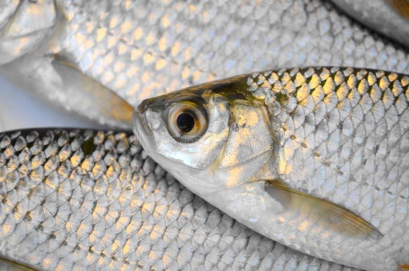 Pesci freschi immagine stock