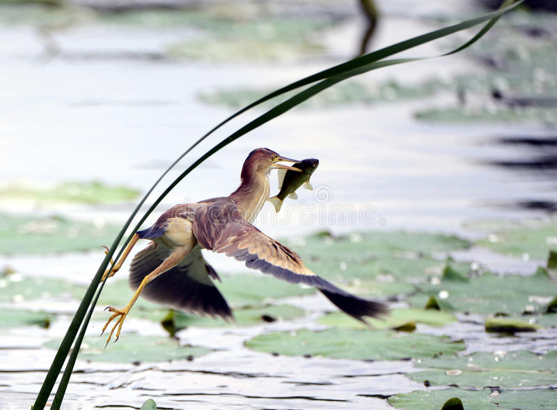 Pesci Gialli Della Cattura Di Jian Della Coda Fotografia Stock