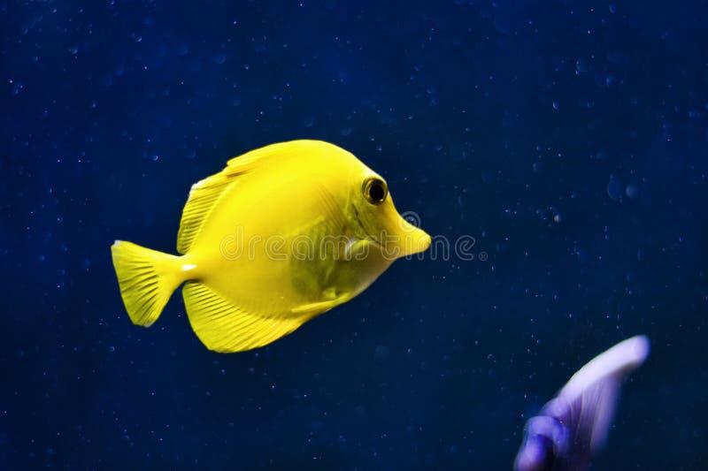 Pesci gialli di linguetta su backgroud blu profondo fotografia stock libera da diritti