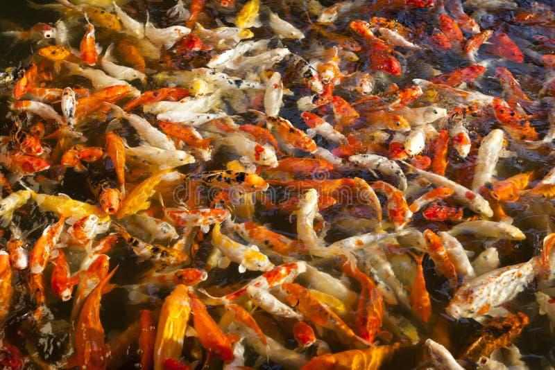 Pesci giapponesi di koi fotografia stock