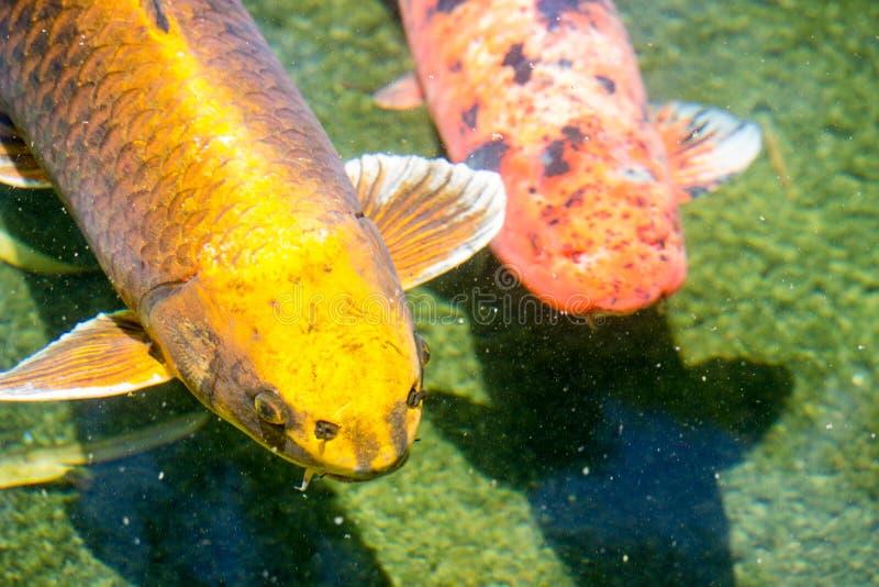 Pesci giapponesi di Koi immagini stock libere da diritti