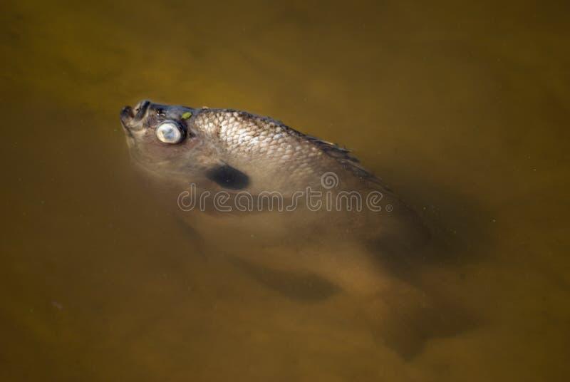 Pesci guasti fotografie stock