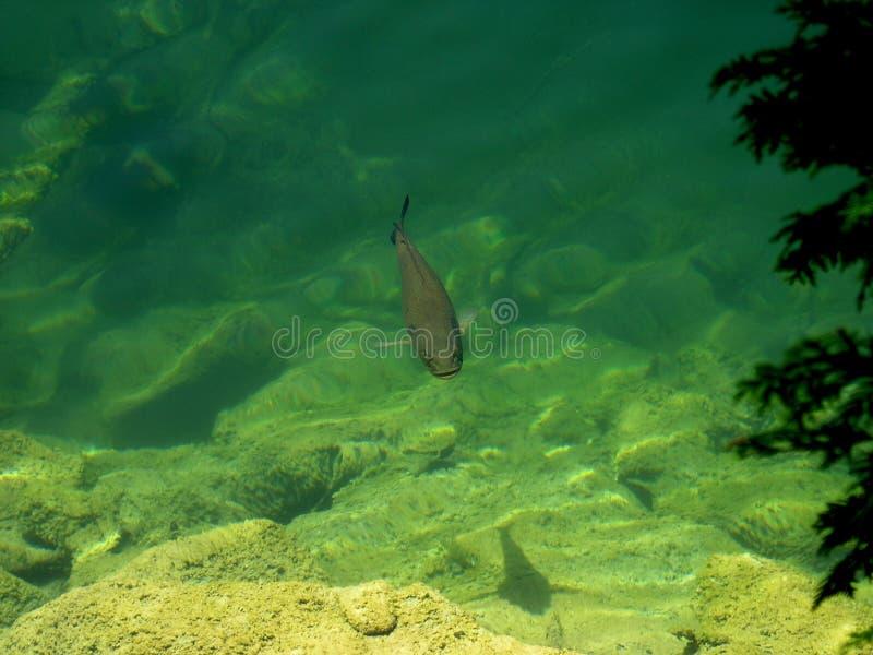 Pesci nel lago fotografia stock